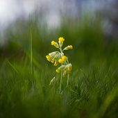 picture of cowslip  - A cowslip  - JPG