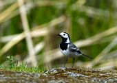 stock photo of curio  - The curios wagtail  - JPG