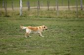 pic of mustering  - Sheep Dog working sheep in a paddock on the farm - JPG