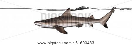 Side view of a Blacktip reef shark swimming at the surface, Carcharhinus melanopterus, isolated on white