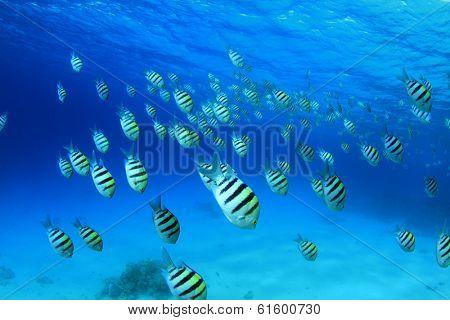 Scissortail Sergeant Fish in blue water