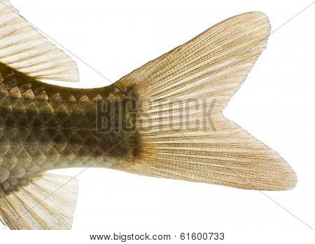 Close-up of a Crucian carp's caudal fin, Carassius carassius, isolated on white