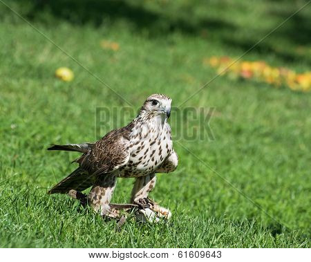 Saker Falcon (falco Cherrug) On The Grass