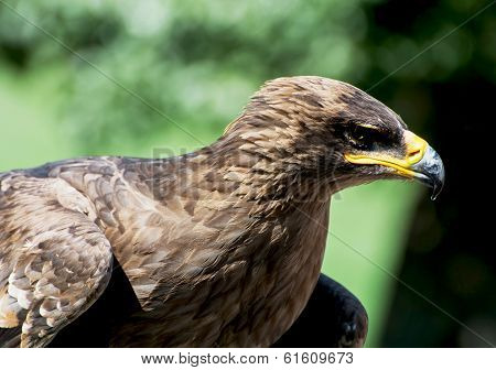 The Tawny Eagle (aquila Rapax)