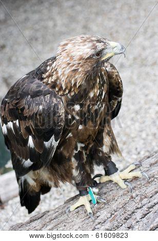 Golden Eagle (aquila Chrysaetos) In Captivity