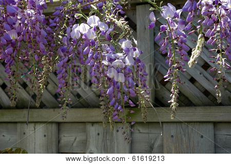 Wisteria Flower Wood Fence