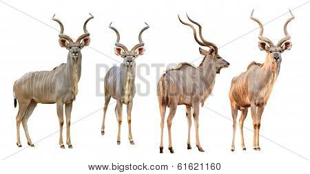 Collection Of Male Kudu Isolated