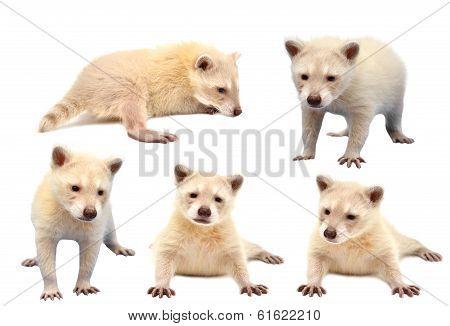 Collection Of Baby Albino Raccoon Isolated