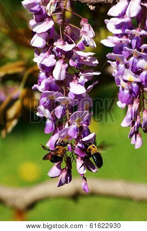 Bees On Wisteria