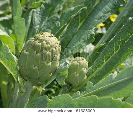 Artichokes Planted  (cynara Cardunculus L.)