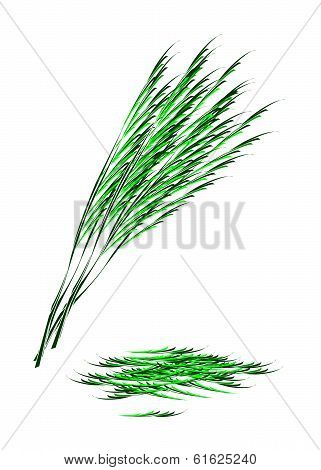 Fresh Green Acacia Pennata On White Background