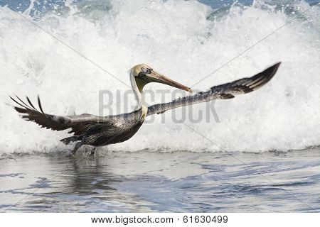 Fun With Pelicans - In The Surf