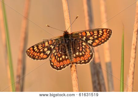 Marsh fritillary butterfly on marsh grass stem