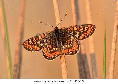 Marsh fritillary butterfly on marsh grass stem