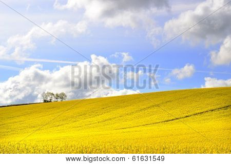 yellow fields of rape seed in summer