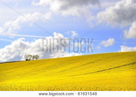 yellow fields of rape seed in summer