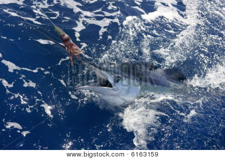 Beautiful White Marlin Real Billfish Sport Fishing