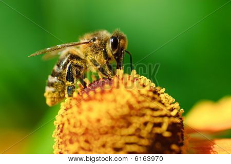 Bee On Flower Collects Nectar