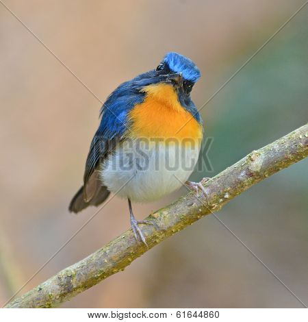 Tickell Blue Flycatcher