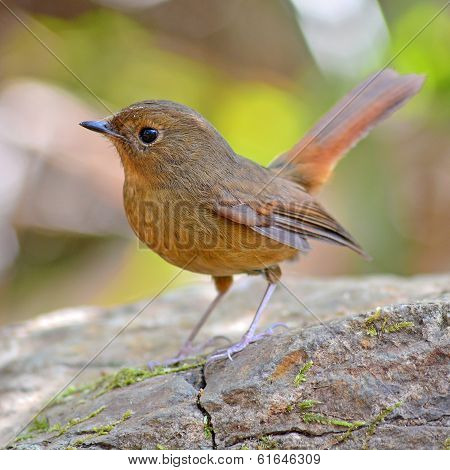 Slaty-blue Flycatcher Bird