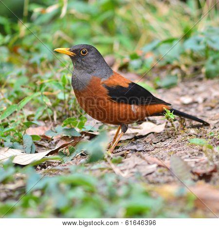Chestnut Thrush Bird