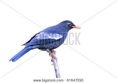 Grey-winged Blackbird