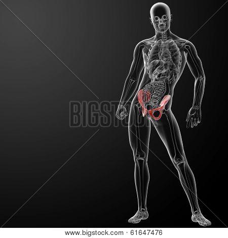 3d render pelvis