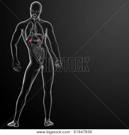 3d render adrenal anatomy