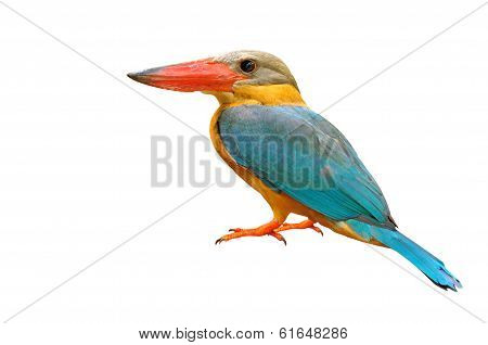 Stork-billed Kingfisher Bird