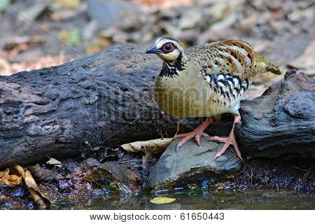 Bar-backed Partridge Bird