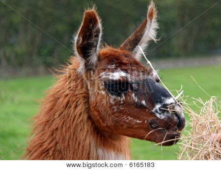 Llama head close up