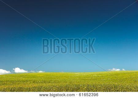 Poppies growing in a field