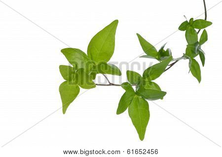 Close Up Of Ivy Plant Isolated.