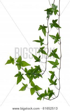 Ivy Stem Isolated On White Background.