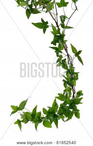 Few Ivy Stems Isolated Over White.