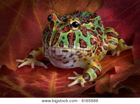 Ornate Frog On Fall Leaves