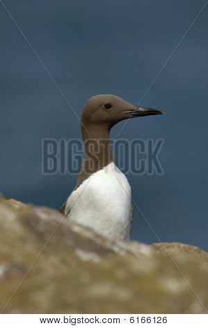 Guillemot or Common Murre - Uria aalge
