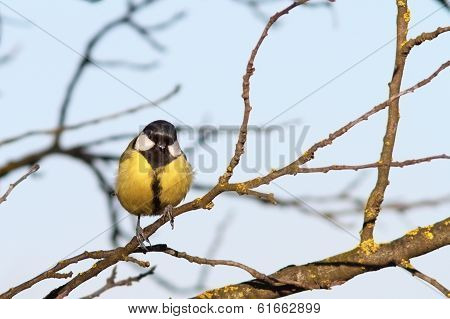 Colorful Great Tit On Twig
