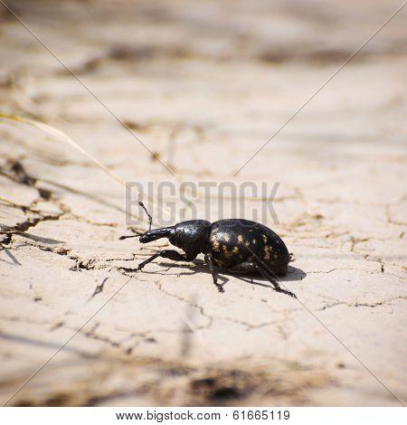 Large Pine Weevil (hylobius Abietis)
