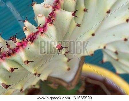 Detail Of Euphorbia Lactea Cristata