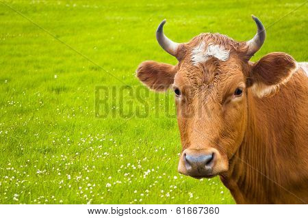 Cow And Flower Meadow