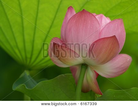 Lotus Flower Soft Light/ueno Park Tokyo,japan