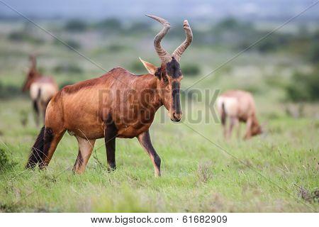 Red Hartebeest Antelope