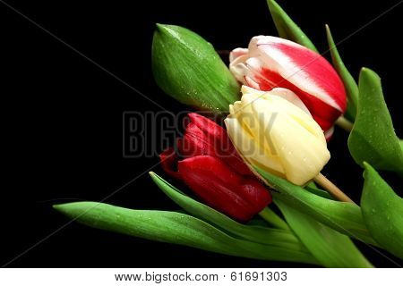 Beautiful tulips on dark background