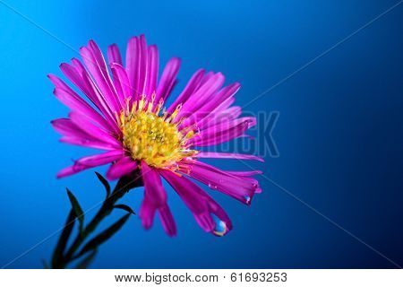 Aster flower isolated on blue