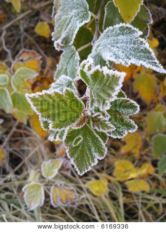 Frozen leaves.