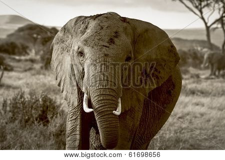 Full frontal African elephant in sepia