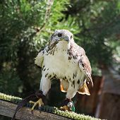 stock photo of falcons  - The Saker falcon  - JPG
