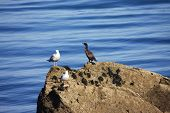 Cormorant and Seagulls