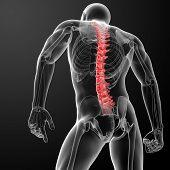 Постер, плакат: 3d render Human Spine Anatomy